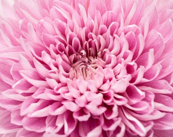 Chrysanthemum Flower Photography Art, Flower Closeup