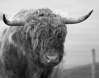 Highland Cow in black and white
