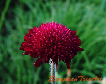 Red flower, Canada, print