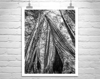 Redwood Forest Photo, Santa Cruz California Redwoods, Big Basin Photo, Redwood Tree Art, Black and White Photo of Redwood Forest