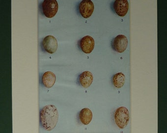 1916 Print Of Bird Eggs - Meadow-Pipet - Blackcap - Greater Whitethroat - Stonechat - Willow-Warbler - Ornithology - Matted - Mounted