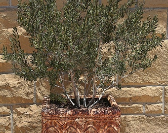 Olive Tree in Pot, 5x7 Photo, Botanical Photo, California Garden, Mediterranean Photo, Santa Barbara Photo, Tuscan Decor, Plant Photo