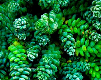 Evergreen , Lime Green Decor Photo, Nature Photography, flower Art, wall art, wall Decor, Frost,