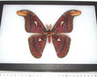 Real framed saturn moth Attacus atlas moth male snake mimic Indonesia
