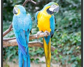 Pair of parrots ARA Ararauna