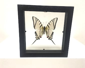 Lovely Protesilaus Protesilaus  Butterfly/Insect/Taxidermy/Lepidoptera