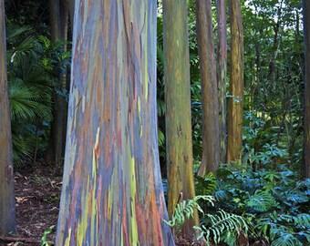 RAINBOW TREE  Eucalyptus Deglupta - 10+ very tiny seeds