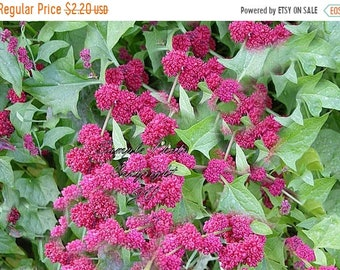 150 Seeds Strawberry Spinach Herb Gardening English Heirloom Chenopodium Non GMO Gardening