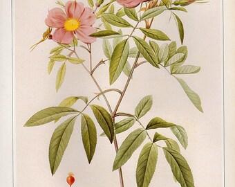 Vintage XLARGE HUDSON'S ROSE Botanical Print 84 Antique Flower print, bookplate art print, flowers flower wall print wall art