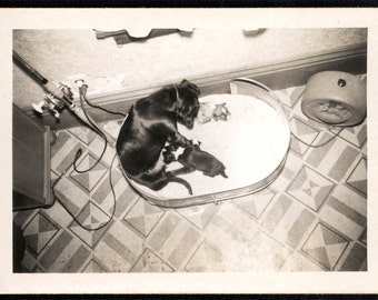 Vintage photo Unusual Overhead Photograph of Mother Dog and New Babies 1940s