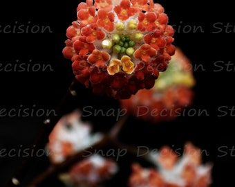 edgeworthia, red flower, close up, paperbush