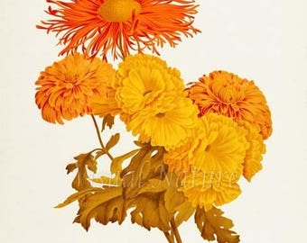 Chrysanthemum Flower Art Print, Botanical Art Print, Flower Wall Art, Flower Print, Floral Print, Orange Yellow Mum Art Print