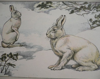 ANTIQUE 1907 Le lievre Alpin Hare signed print Chromolithograph P Mahler German artist Collectors item Christmas,Birthday gift Authentic