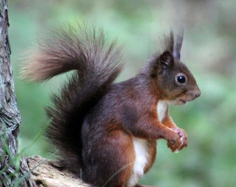 Red Squirrel Wildlife Photography Card