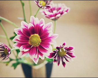 White and Purple Chrysanthemum - Flower Photography - 5x7 Fine Art Photograph