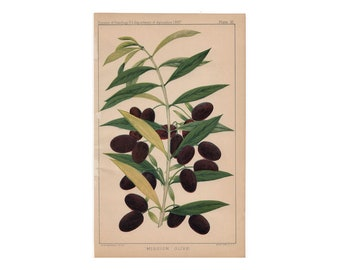 c. 1897 OLIVE PRINT - original antique botanical print -fruit lithograph - olives - olive oil food garden print - mission olive