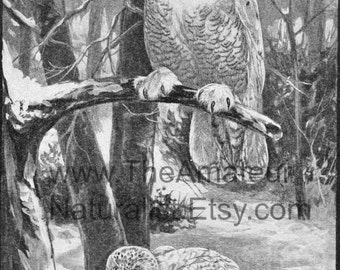 Winter Scene, Snowy Owls on Branch,Snow on the Ground, Bare Winter Branches, Digital Download, Vintage Illustration, Antique Print