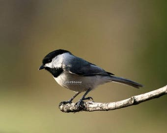 Black capped chickadee, bird, photo, print, photography, wall art, home decor, nature photography, free shipping