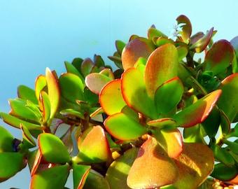 Jade Plant Cuttings (7x)