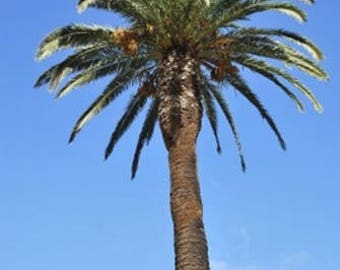 Phoenix canariensis (Canary Island Date Palm) - 10 seeds.  Slender, fairly hardy, graceful palm with feather-shaped, arching leaves.