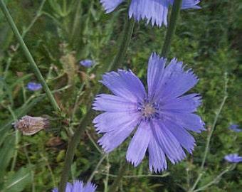 Chicory Herb - Beautiful Blue Flowers - Heirloom - Organic - 50 Seeds