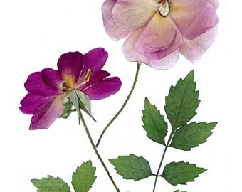 Pressed flower art / Roses / Art print 5 X 7