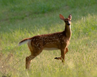Spotted Deer Photograph