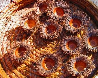 Burr Oak Acorn Caps, Acorn Tops, Craft Supply, Doll House Supply, Fairy House, Nature Art, Mossycup Oak, Quercus Macrocarpa