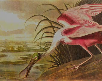 Spoonbill Audubon print - framable print -  for beach decor, bird print, swamp creatures, retro aviary
