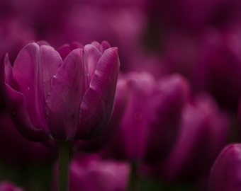 Nature photography, tulip photography, purple tulip