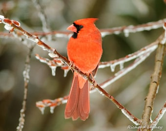 Winter Male Cardinal