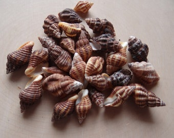 Shells for Grids * LATRIUS GIBBUCUS * Shells Set of 6 for Gemstone Grid Layouts