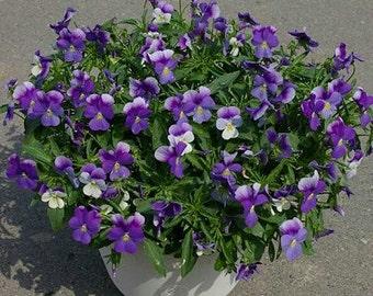 Heirloom 200 Seeds Viola hybrida Violet F1 Gem Ice Blue Penny Pansy Garden Flower Bulk S12120