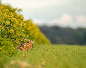 Wildlife Photographic signed mounted A4/A3 Prints of a Hare
