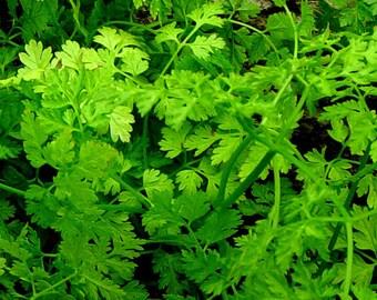 Chervil organic seeds 3.50gr 1600 - 1700 seeds