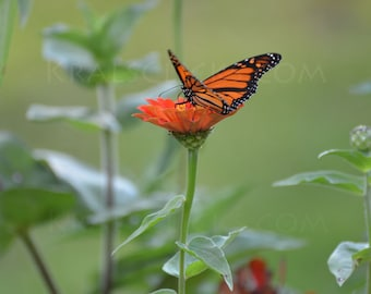 Monarch Photograph Butterfly zinnea flowers orange black green butterflies monarchs Home Office Wall Decor Fine Art Photography wings flower