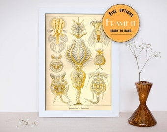 """Vintage illustration from Ernst Haeckel  - framed fine art print, sea creatures,sea life, 8""""x10"""" ; 11""""x14"""", FREE SHIPPING - 286"""