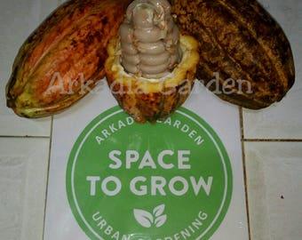 Heirloom Cocoa Seeds   Theobroma cacao Seeds   Indonesia Chocolate Nut Tree Seed 20+ Seeds