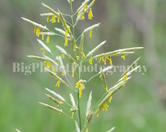 Flowering Brome Grass, Fine Art Photograph, Grasses, Spring, Wildlife, Nature, Green