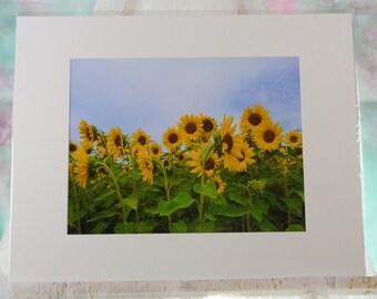 Matted sunflower field photo
