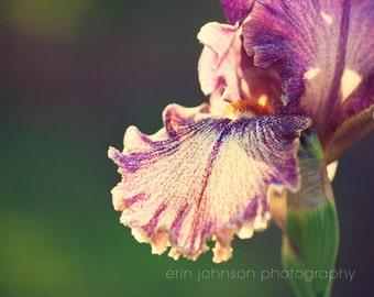 purple flower photography, nature photography, purple home decor, green wall art, floral art, Purple and White Iris II