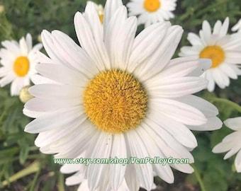 Daisy Print - Floral - Photography