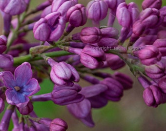 "Purple Lilac Stem with 1/2"" Embedded Border, 8"" x 10"" (digital download)"