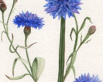 Blue Cornflower Print