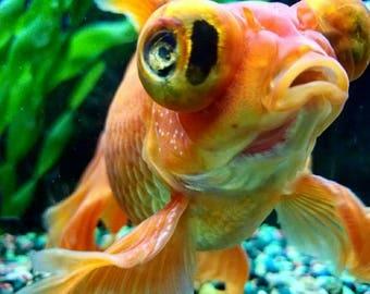 Big Eyed Swimmer