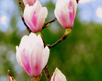 Printable Photograph, Instant Download Photography, Magnolia Photo Art - Nature Photography File Download