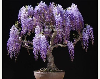 Wisteria sinensis Chinese Wisteria 8 Seeds fragrant Purple vine sun or shade, cold hardy zones 5 + Trellis Gardening Perfect Bonsai Project
