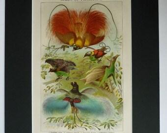 Birds-of-paradise vintage art, 1920's print Vintage bird art print, colourful vintage decor, Antique Colorful Ornithology Gift, Tropical Art