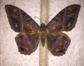 Black Witch Moth ( PLEASE READ DESCRIPTION details below )