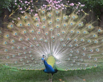 Connie's Peacock Visit